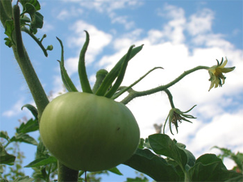 How to Grow Tomatoes