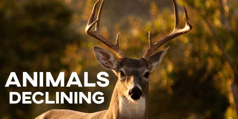 IELTS Essay: Declining Animals