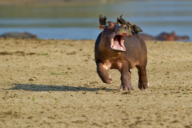 Are hippos endangered ?