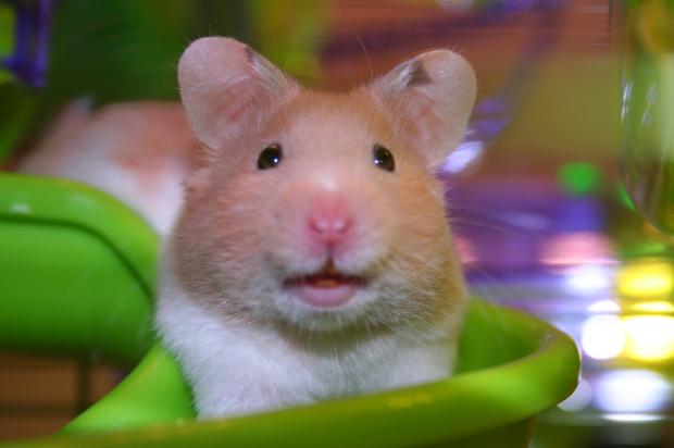 Do Hamsters Smell - Desain Terbaru Rumah Modern Minimalis