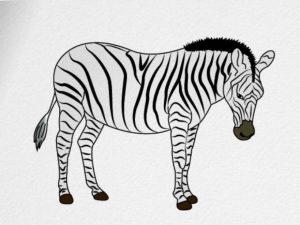 zebra draw step yotan december june howtodrawa