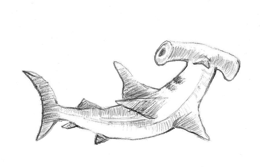 cheetah anatomy diagram fantastic vent wiring the gallery for --> hammerhead shark