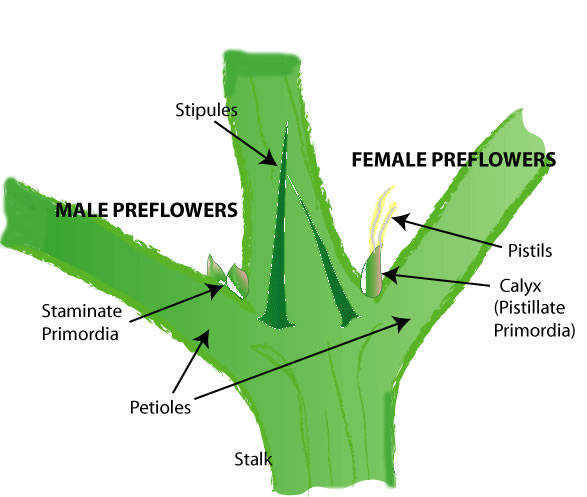 diagram of a flower and its parts geology block hydroponic marijuana sexing
