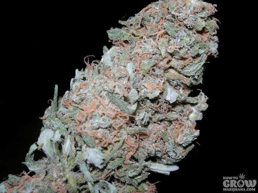 Sensi  Maple Leaf Indica Marijuana Seeds