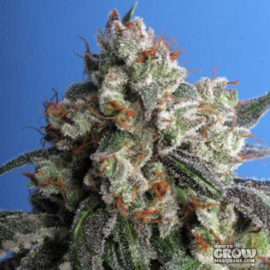 Northern Lights 5 Feminized Seeds