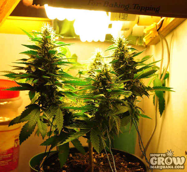 Marijuana Grow Lights LED HPS CFL