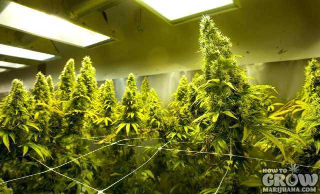 Cannabis College  Study Online or Real University