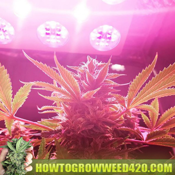 grow LED indoors pot marijuana plants for beginners