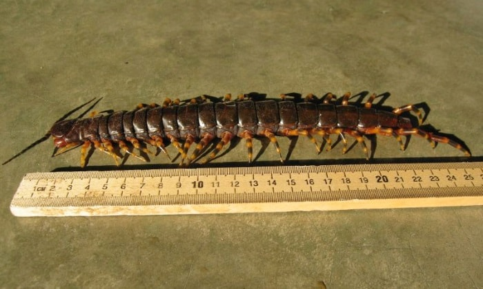 Peruvian giant yellowleg centipede