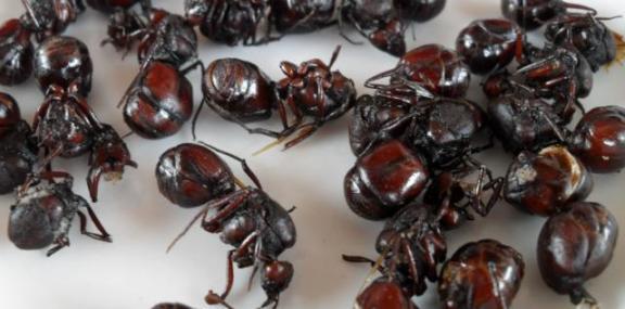 eating-ants-hormigas-culonas