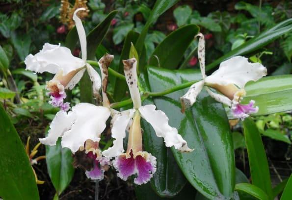 Cattleya rex orchid Peru