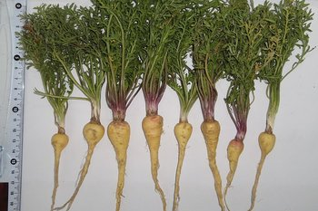 peruvian fruits and vegetables - maca vegetable