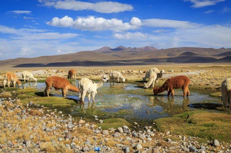 Alpacas And Llamas At Lake