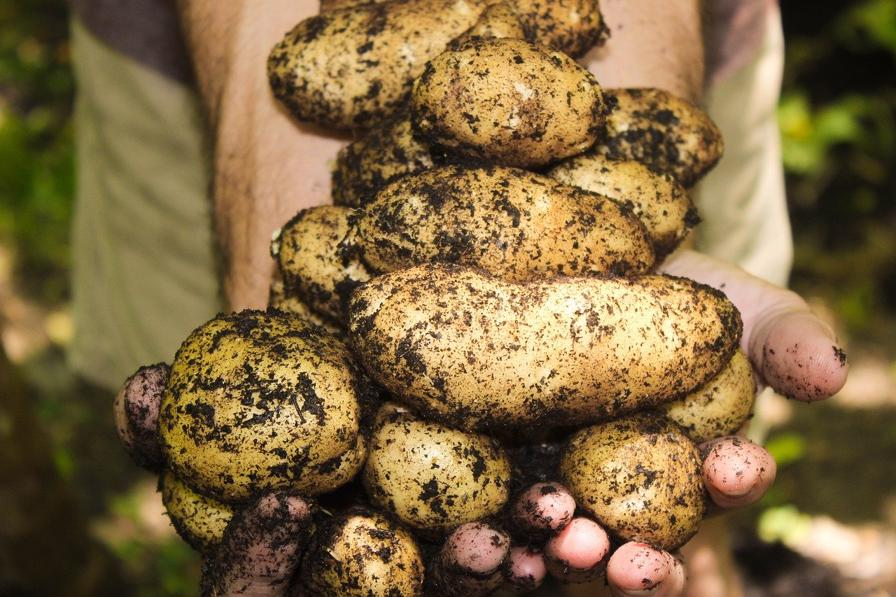 How To Grow Hill Potatoes How To Plant Your Garden