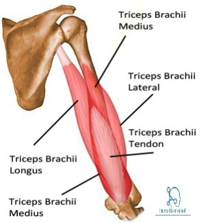 Triceps Brachii: Origin, Insertion, Nerve Supply & Action