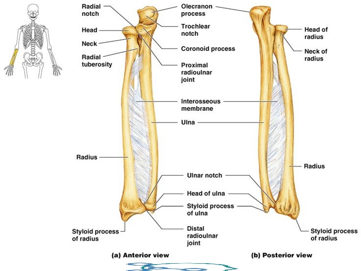 chicken wing diagram kitchenaid professional 600 parts ulna anatomy-muscle attachment & bony landmark » how to relief