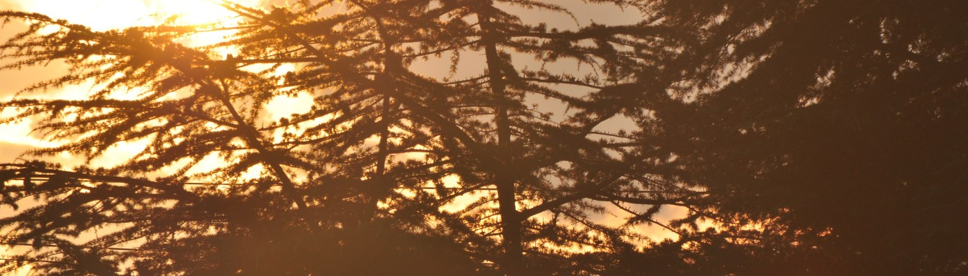 Early morning sun behind pine trees looking like fire