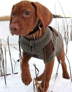 Vizsla puppy temperament also tips on how to train  rh howtotrainthedog