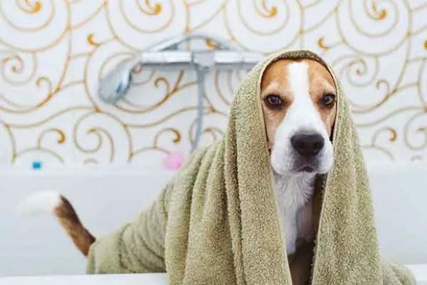 cute beagle dog after bath