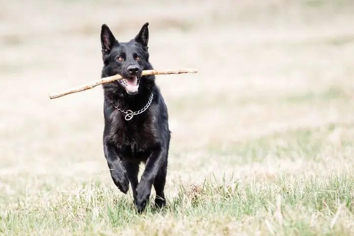the black german shepherd