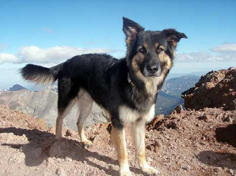 The Miniature German Shepherd The Truth About This
