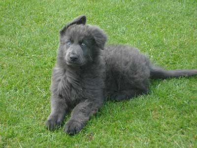 Are There Any Risks In Choosing A Blue German Shepherd