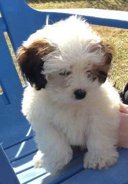 Shorkie Poo Puppies : shorkie, puppies, About, Shorkie, Complete, Guide