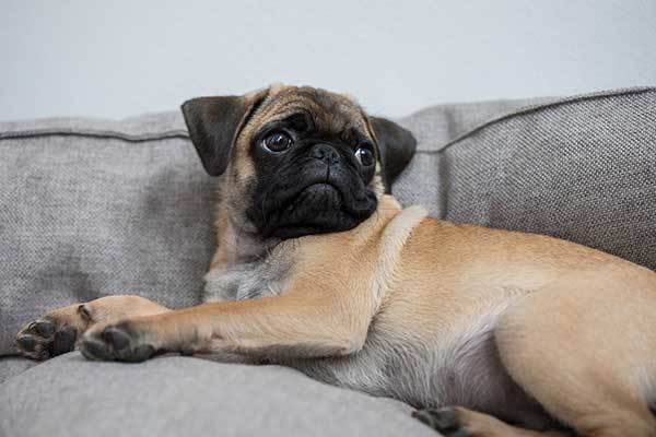 relaxed adorable pug dog