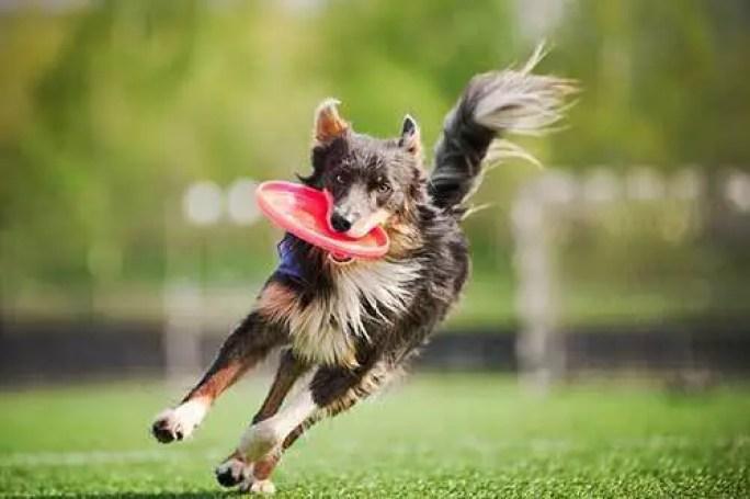 cute border collie dog running