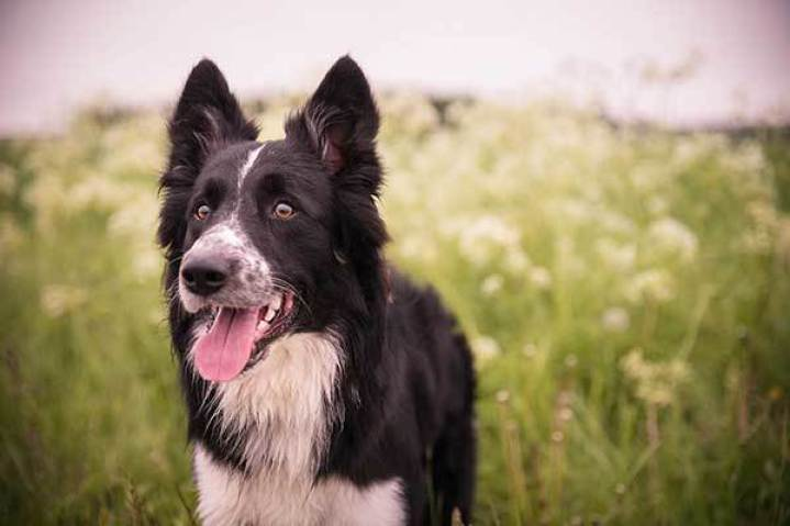 border collie in summer time