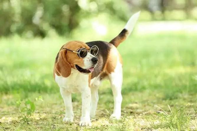 Spoiled Beagle Dog