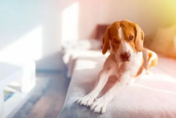 Beagle dog stretching