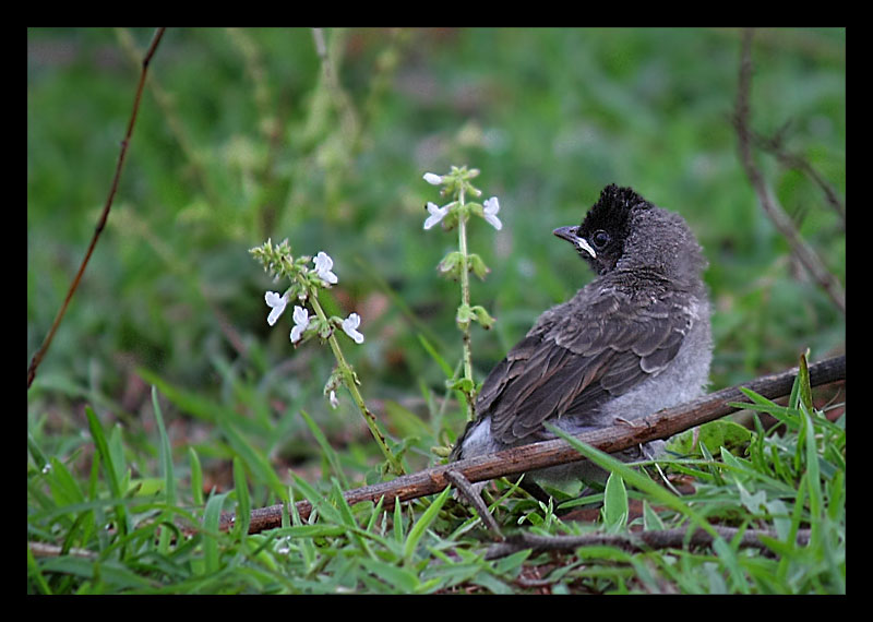 red-vented-bulbul-chick