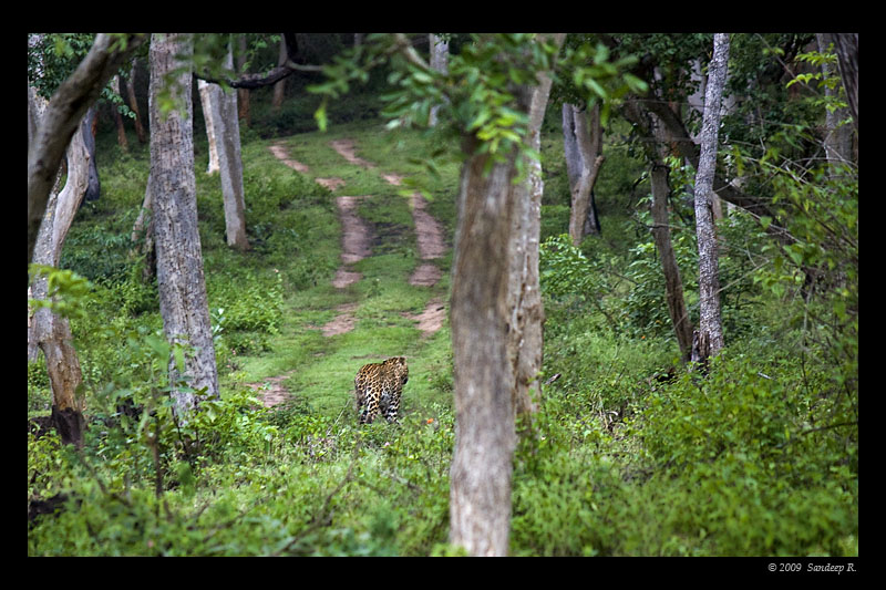 leopard-walking-bandipur