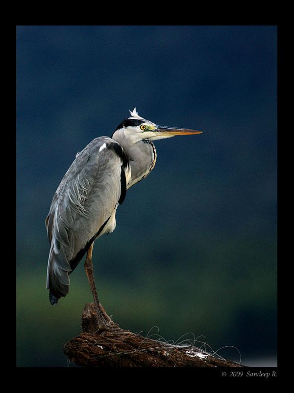 Grey-Heron-Kabini