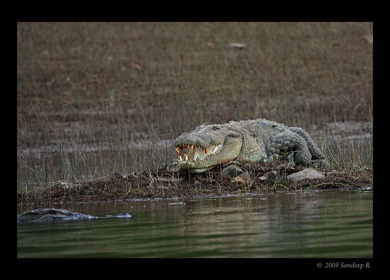 Mugger-crocodile-kabini