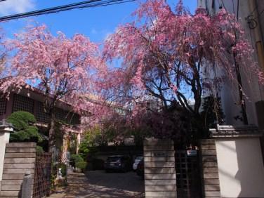 聖輪寺【桜の時期の山門】