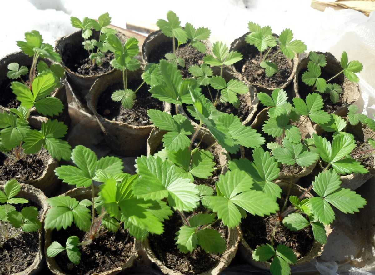 Fentyurieni (pentru a procesa semințele de morcovi, arcul, castravetele, varza, rhubarbul, 3 g pe 1 kg de seminte),