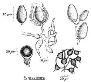 Phytophthora cryptogea