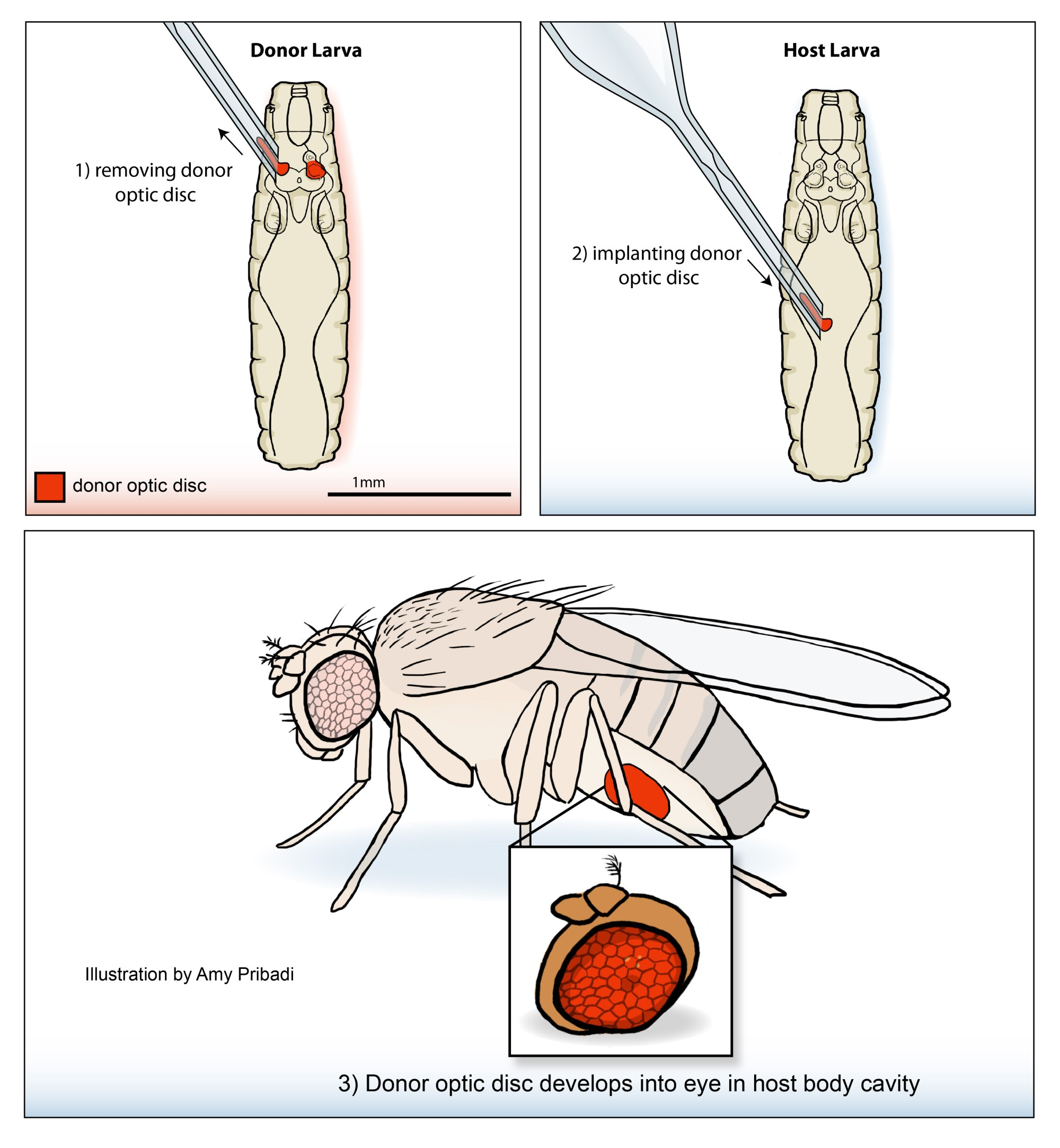 hight resolution of fruit fly diagram label wiring diagram yer fruit fly diagram label