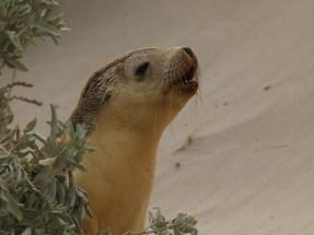 Junger Seelöwe auf Kangaroo Island