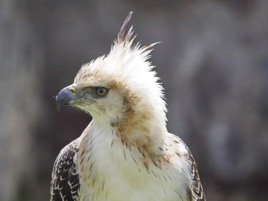 Greifvogel (Kondorpark)