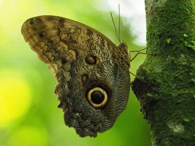 Eulenauge Schmetterling