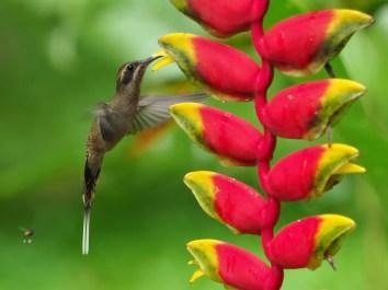Kolibria besucht Heliconia