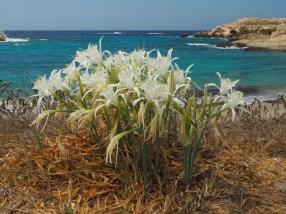 Lefkos: Strandlilien