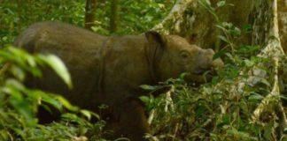 Умер последний в Малайзии самец суматранского носорога