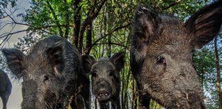 Для борьбы с АЧС в Польше не хватает ветеринаров