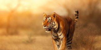 Названа необычная причина оранжевого цвета тигров