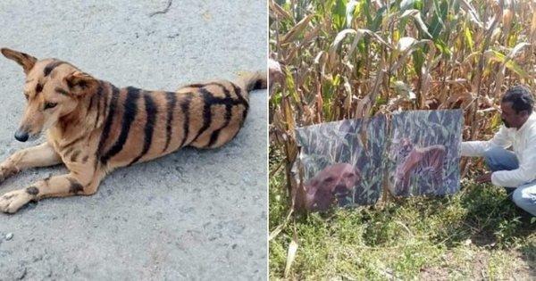 Фермер превратил собаку в «тигра», чтобы отпугивать вредителей