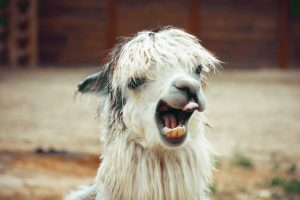 Are you wrangling any alpacas this summer?